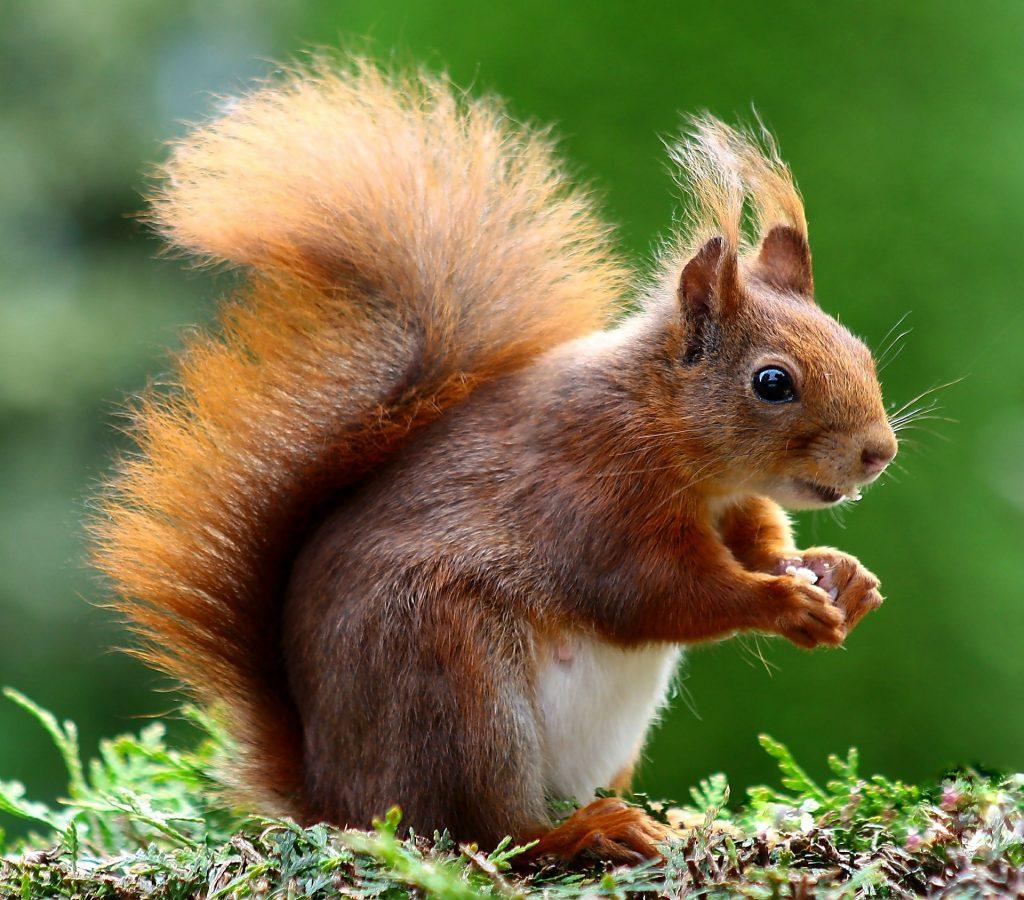 eekhoorn met mooie staart